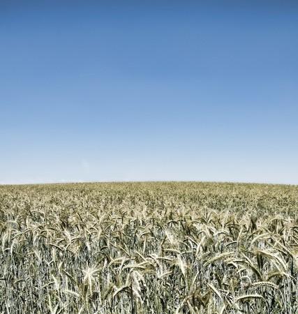 wheatfield: irrealistic wheatfield on blue sky Stock Photo