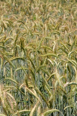 wheatfield: details on a wheatfield
