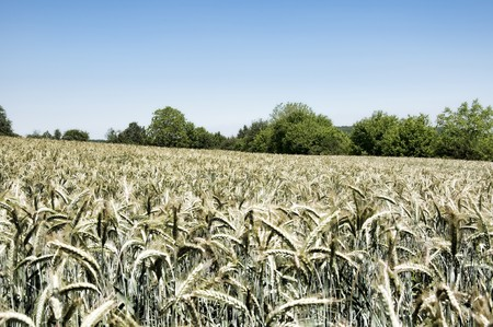irrealistic wheatfield photo
