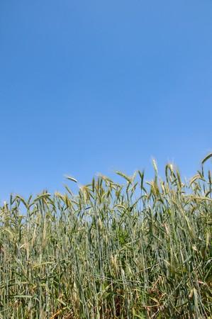 wheatfield on blue sky photo