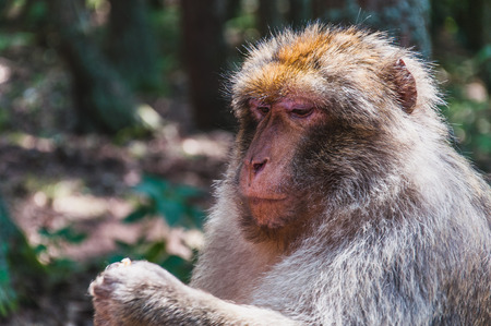 The Barbary macaque or magot at monkey mountain in kintzheimen alsace, france