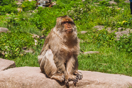 The Barbary macaque or magot at the monkey mountain in kintzheimen alsace, france