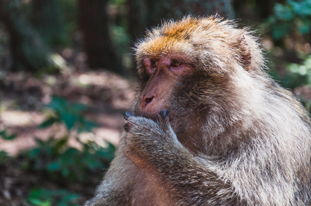 The Barbary macaque gold magot at the mountain monkey in kintzheimen alsace, france