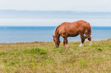 Horse grazing grass at Pointe Saint-Mathieu in Plougonvelin in Finistere in France