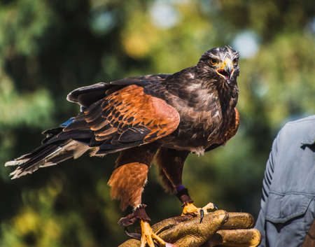 Harris's Hawk at rest on falconry glove