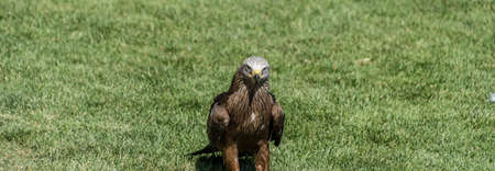 Black Kite on the ground and wings closed on a background of green grass