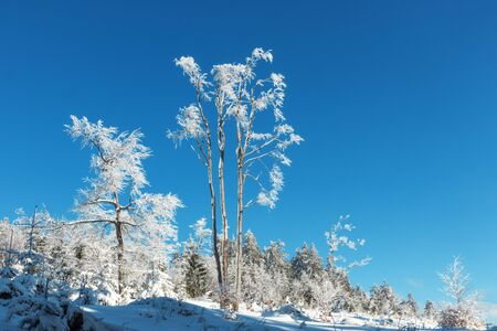 Lone snowy trees in the clearing in the woods. Blue sky on the background. Winter season in mountain forest. Beautiful sunny day.