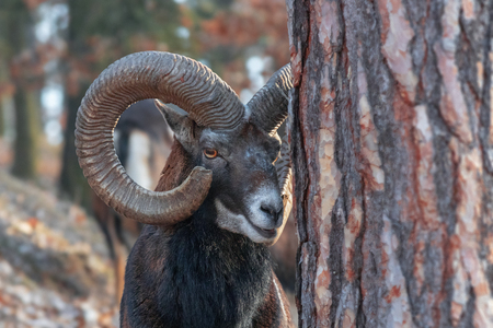 The mouflon in the forest in winter season. The portrait. Wild animal with huge horns in the nature habitat. Ovis orientalis.