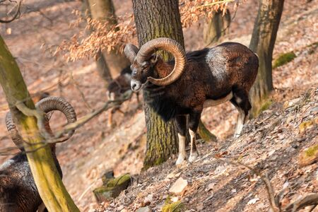 The moufflons in the forest in winter season. 3 moufflons climb on the steep hill. Wild animals with huge horns in the nature habitat. The focus on the front animal. Ovis orientalis.