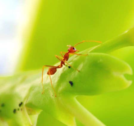formicidae: Formicidae