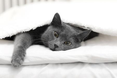 foglio bianco: Cat sdraiato sotto un foglio bianco in un letto