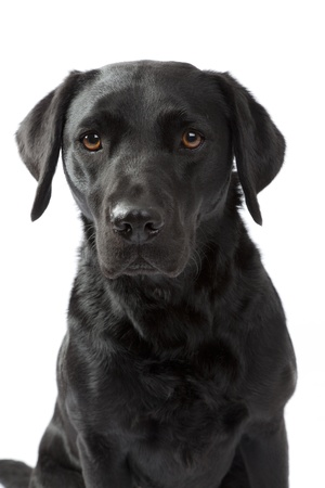 Headshot of a Black labrador retreiver with white background photo