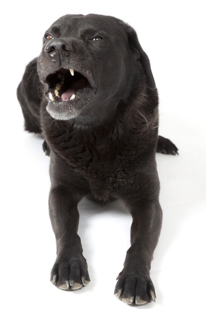 vicious: Angry black labrador lying with white background