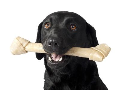 rawhide: portrait of a black Labrador with a bone