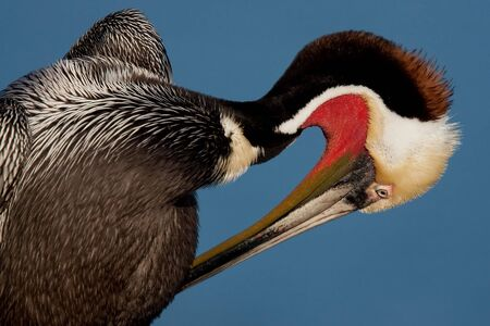 Brown pelican in breeding plumage preening. Stock Photo - 7971691