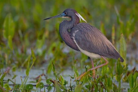 Tricolored Heron foraging against soft green background. Stok Fotoğraf