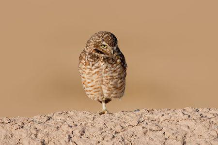 furrow: Burrowing owl standing on one leg on furrow.