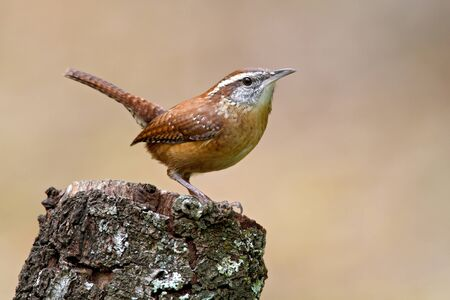 Carolina Wren posing on tree stump.