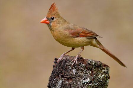 Female Northern Cardinal on tree stump.