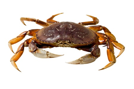 Live dungeness crab isolated on white background.