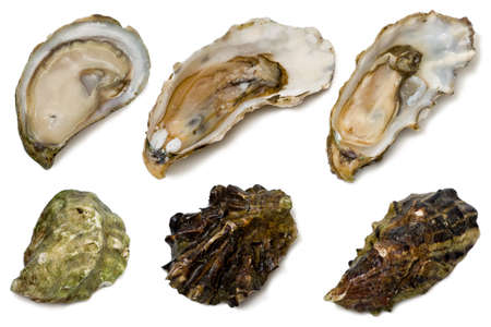 Kumamoto, marin miyagi and walker creek live oysters on white background. 版權商用圖片