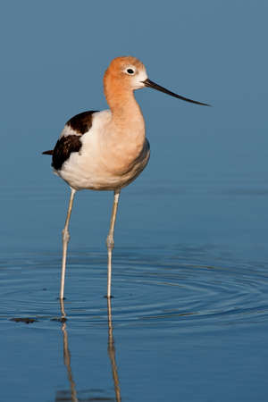 Adult american avocet wading in shallow pond.