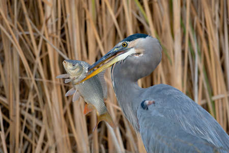 Adult great blue heron with large fish against a background of reeds. Stock Photo - 8860626