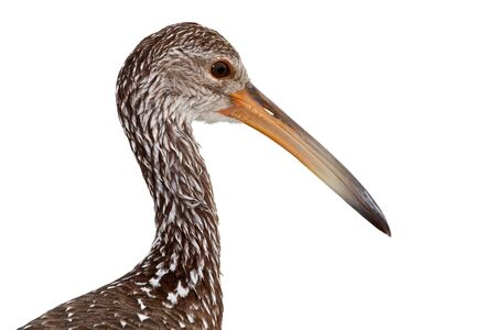 extant: Portrait of a limpkin against a white background.