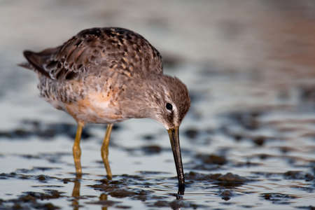 Lone long-billed dowitcher foraging in shallow water. Stock Photo - 9043742