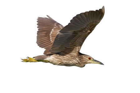 immature: Immature black-crowned night-heron in flight on white background.