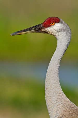 sandhill crane: Sandhill crane head and neck against a soft green background.