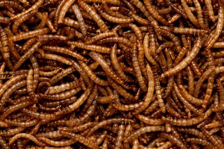 mealworm: Full frame of dried mealworm larva. Stock Photo