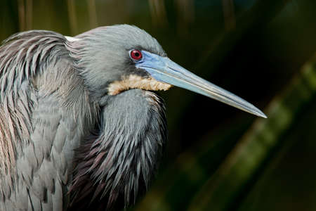 Tricolored heron in breeding plumage. Stock Photo - 9283828
