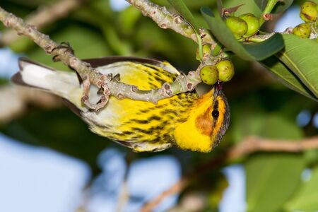 Male Cape May Warbler eating small figs.
