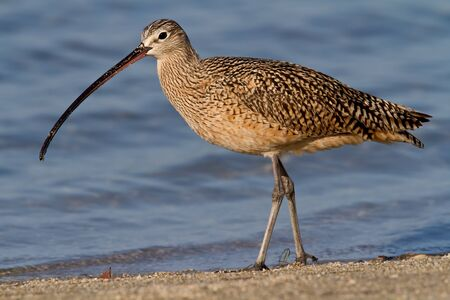 Adult Long-billed curlew foraging on beach.