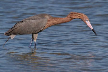 Adult reddish egret hunting for fish in the ocean. photo
