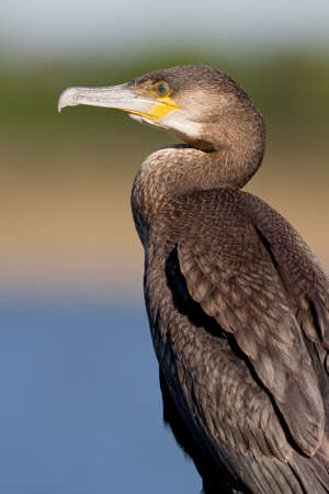 Great cormorant against soft mixed background. Stock Photo - 9624123