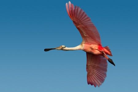 roseate: Adult roseate spoonbill in flight against blue sky.