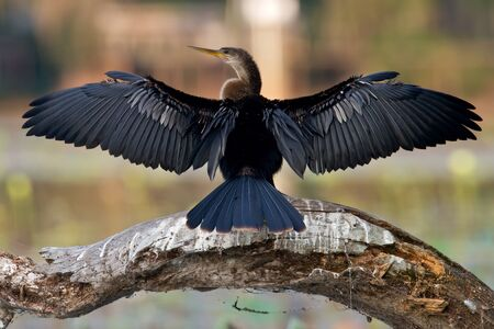 sunning: Anhinga sunning with wings spread on dead tree trunk.