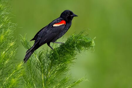 Adult male red-winged blackbird against green background. Stock Photo - 9873655