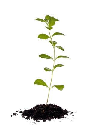 白い背景に対して土の小さな塊にステビア植物。 写真素材