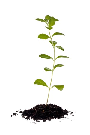 Stevia plant in small clump of soil against a white background. Imagens