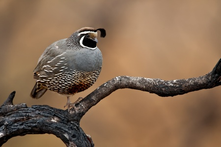 Adult male calilfornia quail perched on a burned tree limb.