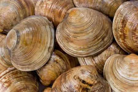 Background texture of live Cedar Key clams.