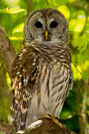 limb: Barred Owl perched on tree limb in wooded area.