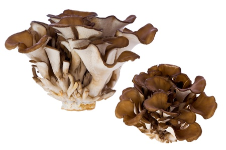 Composite  of hen of the woods, or maitake mushrooms, against white background.
