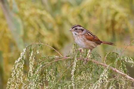 Swamp sparrow perched on small branch with soft golden background.