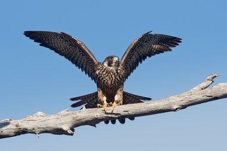 Peregrine falcon perched on tree limb with wings raised. Stock Photo - 11137053