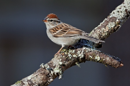 chipping: Adult chipping sparrow perched on tree branch.