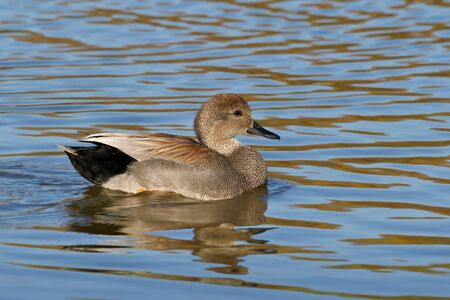 dabbling: Adult gadwall drake swimming on pond.